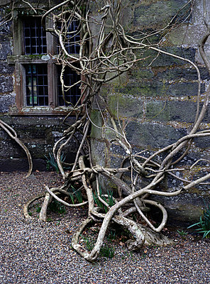Bare old ivy branches - p1047m789498 by Sally Mundy