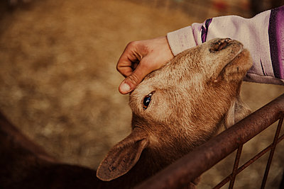 Close up of hand stroking goat in stable - p300m2273472 by Aitor Carrera Porté