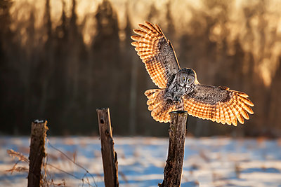Great Gray Owl (Strix nebulosa) taking flight off a wooden post with it's wings backlit by sunlight; Thunder Bay, Ontario, Canada - p442m2039393 by Susan Dykstra