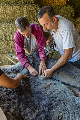 Caucasian farmers shearing alpaca on farm - p555m1411275 by Eric Raptosh Photography