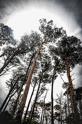 Looking up at tall pine trees against light - p1047m1531874 by Sally Mundy