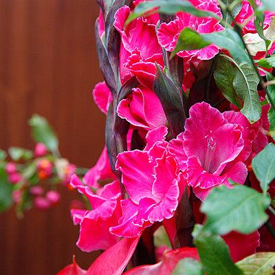 Gladiolen in Pink - p249m1559788 von Ute Mans