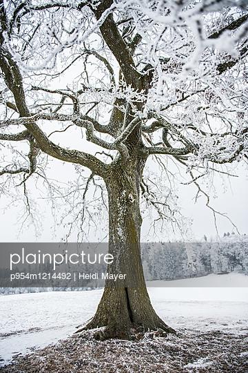 Winterbaum - p954m1214492 von Heidi Mayer