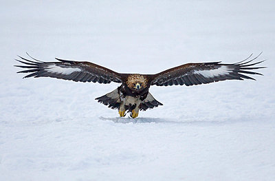 Close-up of a golden eagle with spread wings in flight over snowed landscape - p1025m789236f by Torbjörn Arvidson