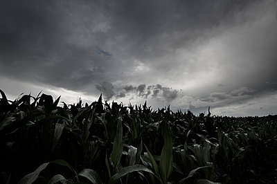 Maisfeld unter dunklen Wolken - p1137m1154986 von Yann Grancher