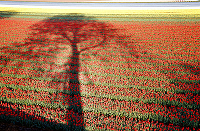 Tulips on field, elevated view - p300m877779 by Mel Stuart