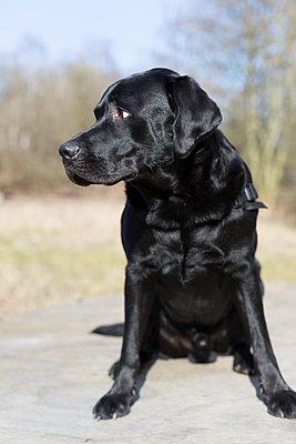 Labrador - p1076m918541 by TOBSN