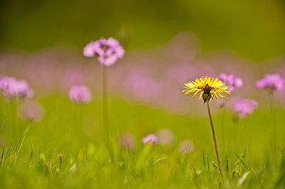Flowering meadow - p1418m1571722 by Jan Håkan Dahlström