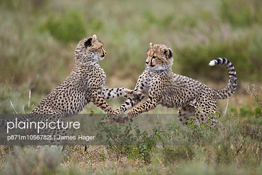 Cheetah  cubs playing, Serengeti National Park, Tanzania, East Africa, Africa - p871m1056782f by James Hager