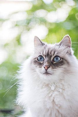 Hübsche Katze sitzt auf Balkon - p1396m1481193 von Hartmann + Beese