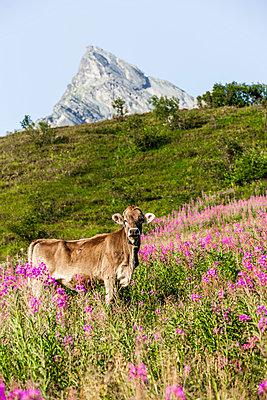 Kuh auf der Alm - p248m1058246 von BY