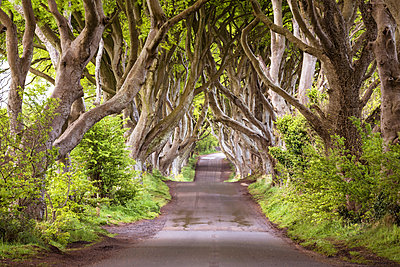 The Dark Hedges (Bregagh Road), Ballymoney, County Antrim, Ulster region, northern Ireland, United Kingdom. Iconic trees tunnel. - p651m2007362 by Marco Bottigelli