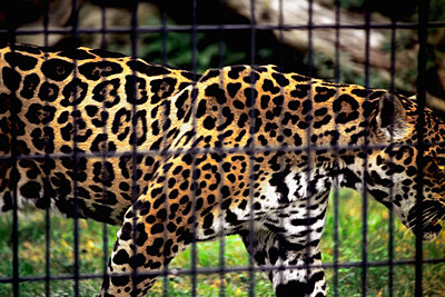 Jaguar im Zoo von Münster - p1210m1564772 von Ono Ludwig