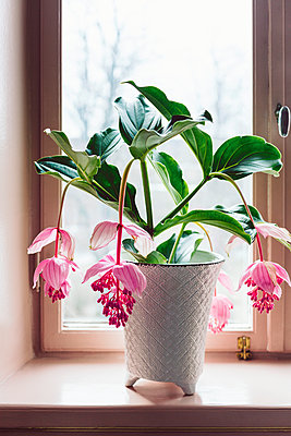 Flowering potted plant - p312m2079463 by Marie Linnér