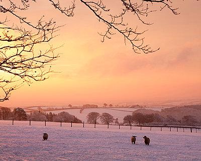 Sheep graze in a snow covered field beneath a fiery dawn sky, Exmoor, Somerset, England, United Kingdom, Europe - p871m711410 by Adam Burton
