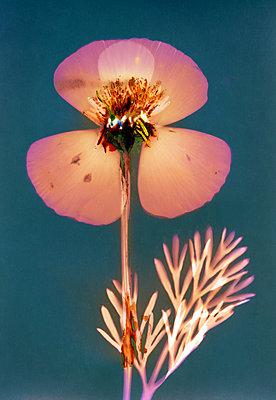 Gepresste Blume - p945m2278197 von aurelia frey
