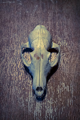 Small wild animal skull - p1228m1539201 by Benjamin Harte