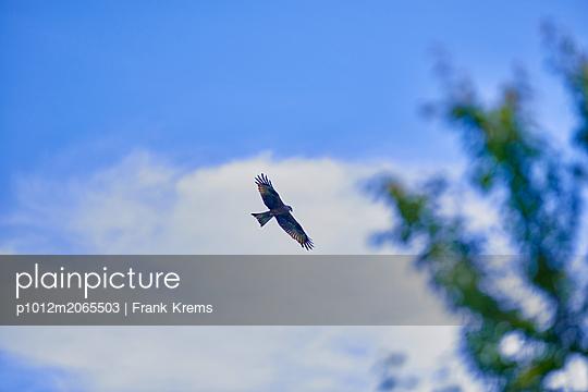 Kite in flight - p1012m2065503 by Frank Krems