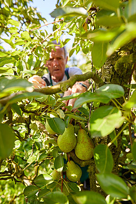 Organic farmer harvesting williams pears - p300m2140719 by Sebastian Dorn