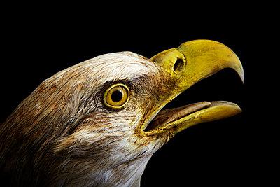 Adler - p415m661160 von Tanja Luther