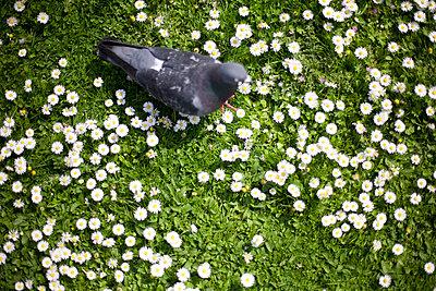 Dove on a meadow - p8170052 by Daniel K Schweitzer