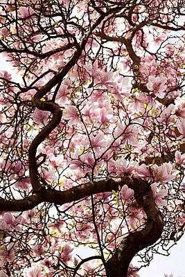 Magnolia - p993m698495 by Sara Foerster