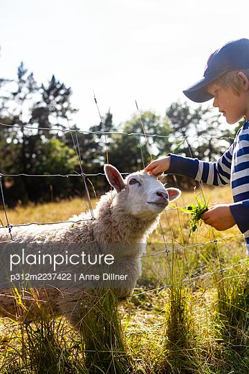 Boy stroking sheep through fence - p312m2237422 by Anne Dillner