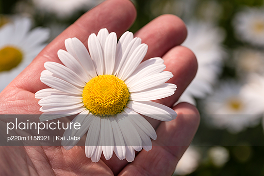 Margeritenblüte - p220m1158921 von Kai Jabs