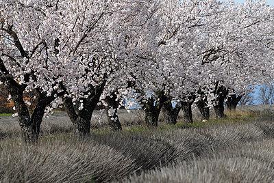 Baumblüte in der Provence - p1468m1527634 von Philippe Leroux