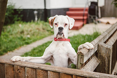 Red Collared Dog - p686m963266 by Paul Tait