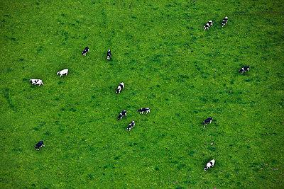 Kühe auf einer Weide - p713m777184 von Florian Kresse