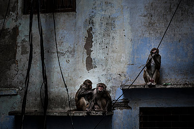 Three monkeys on a wall - p1007m1144311 by Tilby Vattard