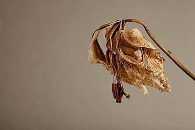 Dried Lily - p1072m899623 by Martin Ward