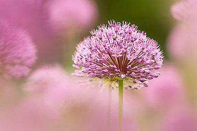 Great lilac-purple spherical allium, Allium hollandicum - p300m2004033 von Brigitte Stehle