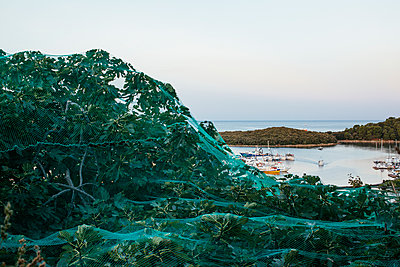 Protected fig tree with harbor view in Vrsar - p728m2027230 by Peter Nitsch
