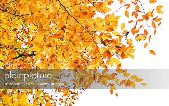 Looking up at golden autumn leaves on a tree branch - p1166m2071975 by Cavan Images