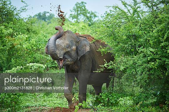 Portrait of Indian elephant throwing soil on his back, Udawalawe National Park, Sri Lanka - p300m2131828 by Christian Vorhofer