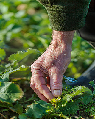 Hand checking plant - p312m2091670 by Pernille Tofte