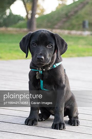 Adorable labrador puppy sitting looking at camera - p1166m2174083 by Cavan Images