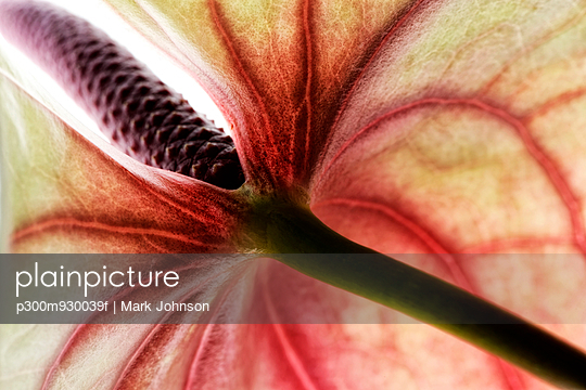 White-red flamingo flower, Anthurium, partial view
