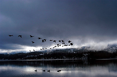 A flock of Canadian Geese fly over Lake Whatcom in V formation during a storm; Bellingham, WA - p3437197f by Rachid Dahnoun