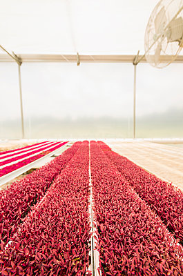 Rows of red plants in greenhouse - p555m1305383 by Mark Edward Atkinson/Tracey Lee