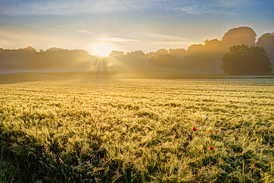 Germany, Bavaria, Swabia, Tussenhausen, Grain field and morning fog at sunrise, Augsburg Western Woods Nature Park - p300m2004419 by Martin Siepmann
