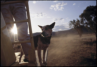 Dog stands on flatbed of truck - p3720007 by Tom Maday