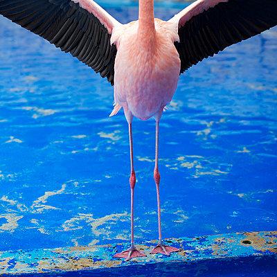 Flamingo flieg! - p606m885546 von Iris Friedrich