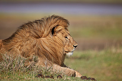 Lion , Serengeti National Park, Tanzania, East Africa, Africa - p871m1056775f by James Hager