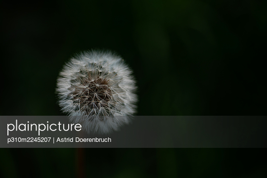 Blowball on dark background - p310m2245207 by Astrid Doerenbruch