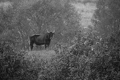 Kuh, Waldgebiet Schorfheide - p089m933191 von Gerd Olma