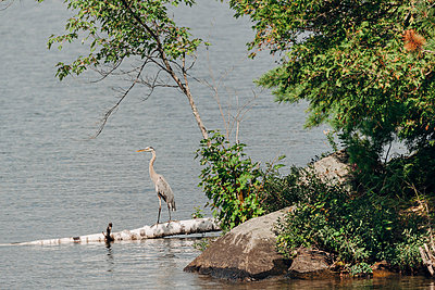 Egret at Chandos Lake - p1065m982646 by KNSY Bande