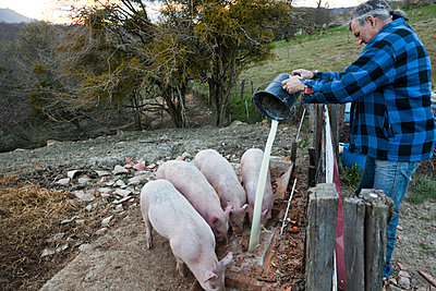 Farmer feeding pigs - p265m1131550 by Oote Boe